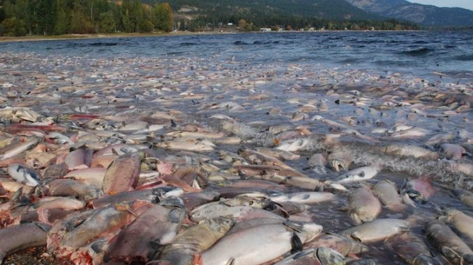 Hundreds of millions of salmon feared dead on us west coast due to dead salmon west coast 678x381 publicscrutiny Images