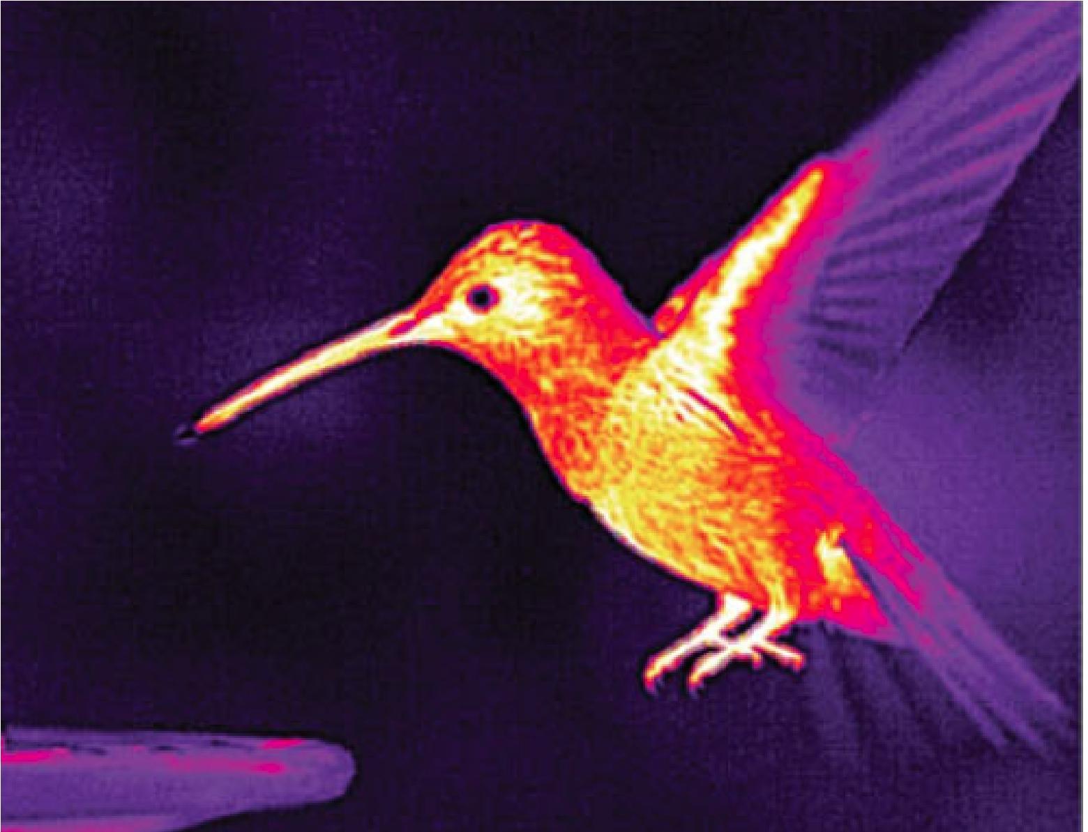 Hummingbird_Heat_Outdoors.jpg
