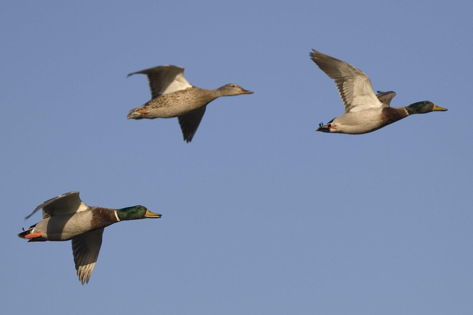 Mallard_Ducks_in_Flight_mallard-ducks-in-flight_1_(397189772).jpg