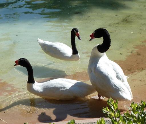 Black-necked swans.jpg