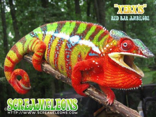 chameleon_xerxis1.jpg