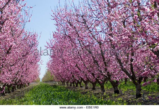 springtime-plum-tree-blossoms-adorn-roadside-on-ca-i-5-near-bakersfield-ebe1r0.
