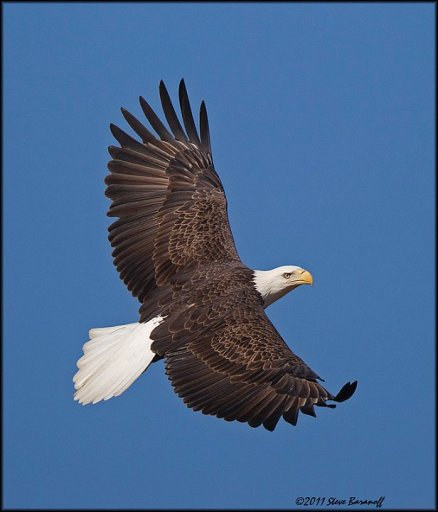_1SB7674 american bald eagle.jpg