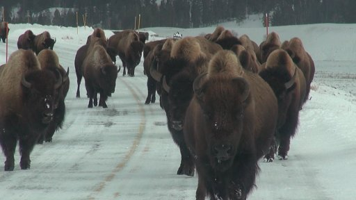 Bison coming towards truck, Jan 2014.jpg