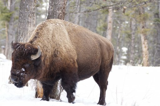 Don't F With this Bison r.jpg