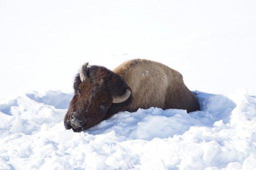 Resting Bison r.jpg