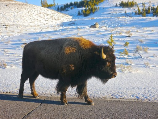 Lone Bison on road.jpg
