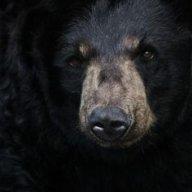 Svartbjørn